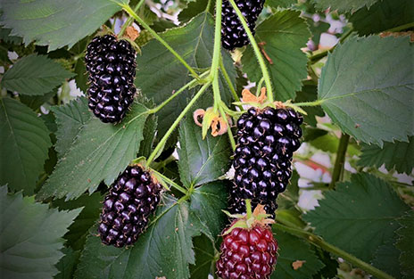 NEW: Blackberries